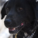 Australian Special Forces Explosive Detection Dog Sabi has been found alive and well almost fourteen months after going missing in action in Afghanistan.