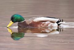 Mallard Mirror (Jacqui Herrington:) Tags: nature reflections mirror scotland duck wildlife mallard loch lomond anasplatyrhynchos millarochybay