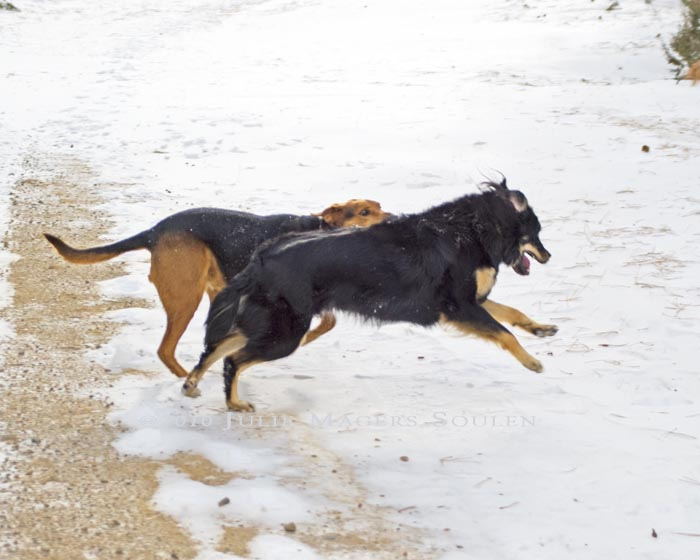 two leaping and playing dogs