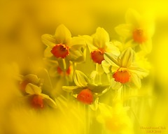 A Host, of Golden Daffodils (HocusFocusClick) Tags: show flowers friends nature yellow canon garden easter golden spring poem shine dancing flash crowd host daffodil april soe daffodils pleasure bej platinumphoto anawesomeshot citrit platinumheartaward awesomeblossoms ubej