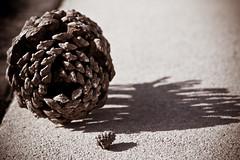 Pine Cone - Miniature