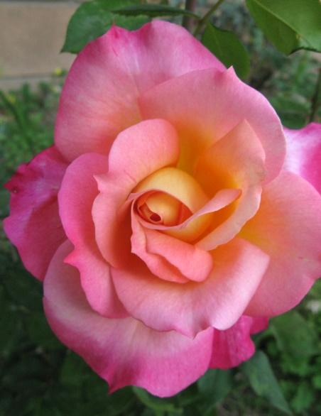 World Peace Rose