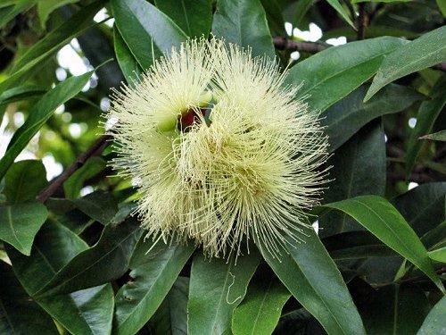 20100413-rq-cruzes-09-Syzygium jambos