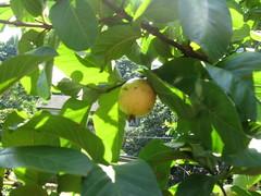 guavas gauvadillas