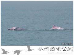 金門中華白海豚生態現況-01