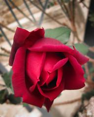 (+---:: :: :: Paul Aziz :: :: ::---+) Tags: love peace god glory unity faith ali mansion bahai nuri  allah baha mirza    al   bahaullah      aqdas      bahullh     husayan    usayn     kitb bahasmo   bahailik     roseflowerisraelbahai           mrz nr    kitbi