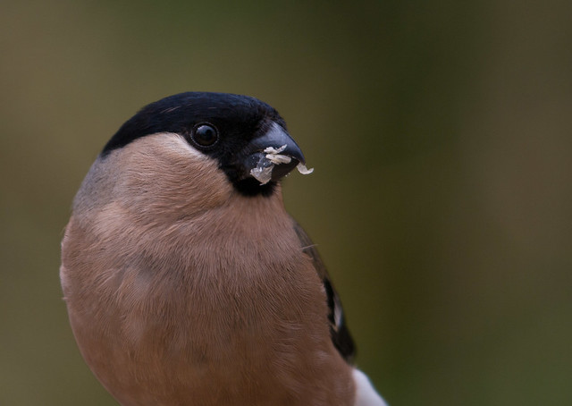 female bullfinch close up 2