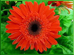 Gerbera jamesonii - reddish-orange rays with black central disk