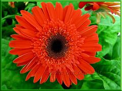 Gerbera jamesonii - reddish-orange rays with black central disk