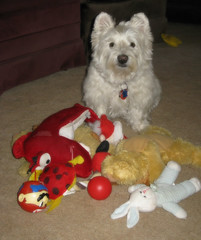 2/12B ~ Riley & Some of His Toys (ellenc995) Tags: riley westie westhighlandwhiteterrier toys love 12monthsfordogs17 thesunshinegroup coth alittlebeauty rubyphotographer challengeclub thegalaxy coth5 supershot pet100 thesuperbmasterpiece pet500 abigfave 100commentgroup