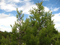 Rare and Endangered Baker Cypress (metaseq) Tags: baker crater cypress cupressus modoc timbered bakeri