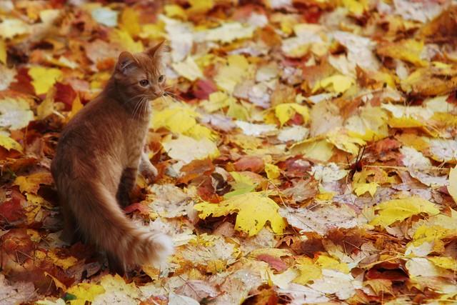 First Time Outside - Orange Kitten in Autumn Leaves