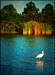 Early Florida morning (Amy V. Miller) Tags: blue white eye nature water reeds landscape florida pelican brilliant jewel