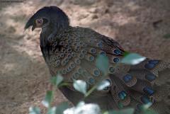 Malayan Peacock-pheasant (Polyplectron malacense)