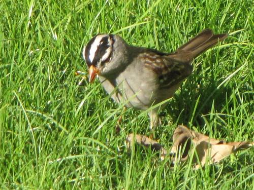 whitecrowned sparrow