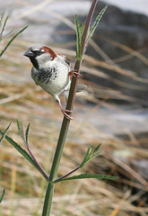 Sparrow (russellstreet) Tags: newzealand bird auckland sparrow nzl aucklandbotanicalgardens
