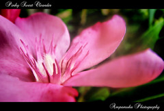 Pinky Sweet Oleander (Beautiful But Very Dangerous) /   (AmpamukA) Tags: pink wallpaper flower macro beautiful dangerous natural very sweet pinky petal but pollen poison oleander hdr core toxin      ampamuka