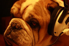 Mixing Music in the Studio (John Kirby) Tags: music dog beach animal turtle xbox x bulldog headset 31 x31 chaba earforce
