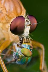 IMG_6305 copy (Kurt (OrionHerpAdventure.com)) Tags: nature fauna fly flora robberfly prey predator longleggedfly robber diptera dolichopodidae buzznbugz orionmystery upclosewithnature