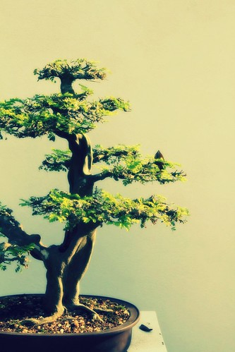 austere bonsai