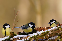 Msanges charbonnire entrain de manger de la neige (Steve Bachmann) Tags: snow birds alsace neige greattit oiseaux a900 msangecharbonnire passereaux sal70400g