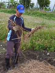 鳳林自然農田 川口由一自然農法的秧田 稻子育苗- 覆蓋稻草