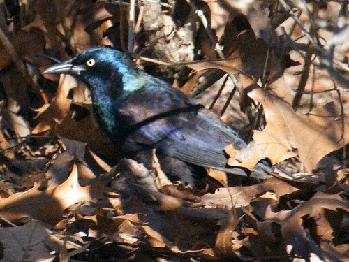 glorious grackle