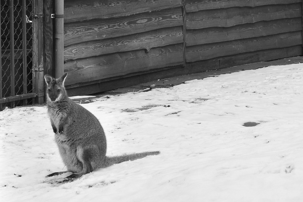 kangeroo in snow female