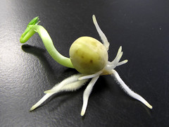 Strange Animal (BlueRidgeKitties) Tags: plant macro seed fabaceae root botany pea seedling germination pisum seedcoat pisumsativum ccbyncsa roothair canonpowershotsx10is epicotyl