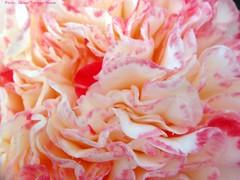 detail camelia / detail camellia (dietmut) Tags: flowers nederland thenetherlands bloemen sonycybershot 2010 niederlande zuidholland rhoon gardencenter theaceae tuincentrum sonydsct200 dietmut rozepinkrosa detailcamelia detailcamellia januarijanuary