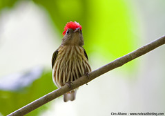 Eastern Striped Manakin - Machaeropterus regulus