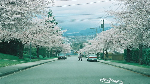 Burnaby cherry blossoms
