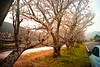 sakura promenade (moaan) Tags: life road leica digital river blossom bank promenade utata m8 桜 sakura kochi cherrytree fiat500 2010 cinquecento 21mm 高知 superangulon inblossom 足摺岬 inlife f34 r321 leicam8 leicasuperangulon21mmf34 bankofariver infullblossom 足摺サニーロード 国道321号 capeofashizuri gettyimagesjapanq1 gettyimagesjapanq2