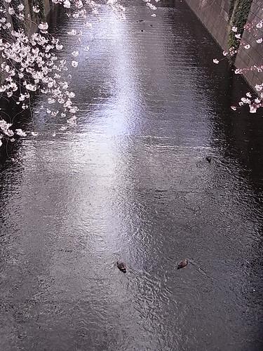 RIMG1428 目黒川 桜 Meguro-Ku Tokyo Japan