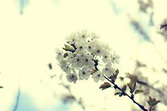 (hito.fr) Tags: flower tree fleur canon cherry eos 50mm spring sakura canoneos cherrytree cerisier eos450d 450d