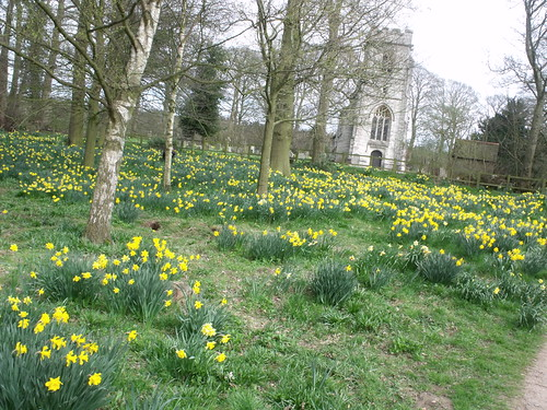 Wild daffodils on the church walk in Baddesley Clinton