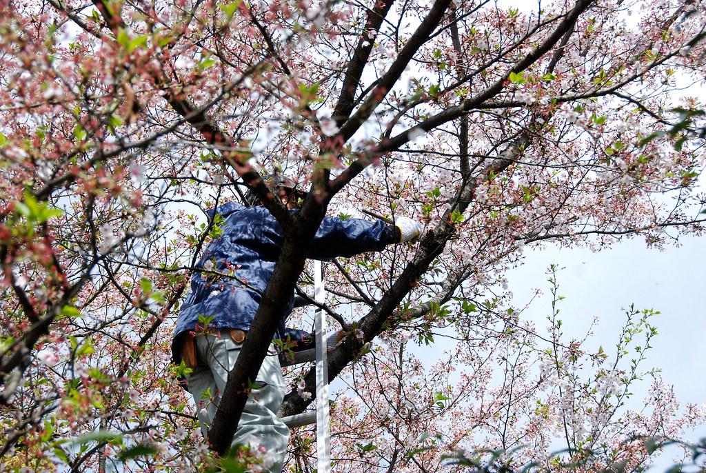 櫻樹看醫生