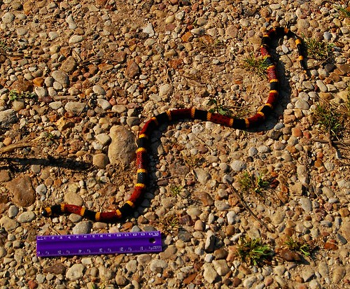 Dead Coral Snake With Ruler