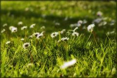 Tales of yesterday (bernofx) Tags: como grass digital canon eos 50mm erba daisy f18 margherita orton giuseppe oxeye margherite bernasconi cagno 400d ortoneffect daisyes bernofx