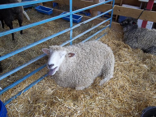 unhappy sheep