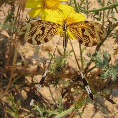 IMG_1339 (gdasko) Tags: mountain insects greece wildflowers ymittos