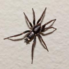 Parson Spider (Macsteve) Tags: spider nc burnsville parsonspider herpyllus