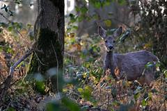 Jeune chevrette (Morgane_W) Tags: nature nikon deer tamron vc roe fort usd chevreuil 70300 chevrette d3100