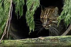 Asian Golden Cat - Edinburgh Zoo - Sun 16 March 2014 -5914 (Mr Andy J C) Tags: animal cat asian zoo golden scotland edinburgh unitedkingdom bigcat sct edinburghzoo cityofedinburgh catopumatemminckii 16march2014