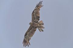Black Kite (amarjeetsinh.jhala) Tags: bird birds nature wild wildlife allnaturesparadise autofocus
