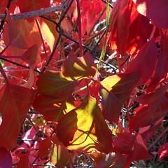 Meglio nascondere le reti - Parthenocissus quinquefolia (fotomie2009) Tags: autumn canada leaves foglie del autunno vite parthenocissus vergine quinquefolia parthenocissusquinquefolia vitevergine