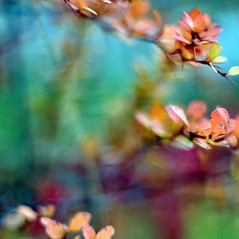a feverish dream (brightdawns) Tags: square colours bokeh thorns likeapainting freezingmyassoff veryshallowdof rainbokeh nikkorais50mmf12 lastautumnleafs somekidssingingnearby sittinginwetgrass gettinweirdlooksfrompeople notminding fingersgoingnumb