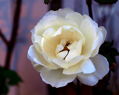 Rose Before Sunset (ladyinpurple) Tags: white macro rose justbeforesunset