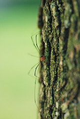 Daddy Long Legs (Aubirdy) Tags: orange macro tree green daddy photography nikon focus long dof legs bokeh insects bugs bark monday 90mm hmm d60 bokehlicious aubirdy bokehrama