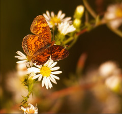 (Heather Annee Photography) Tags: flowers brown white flower butterfly indiana explore muncie minnetrista